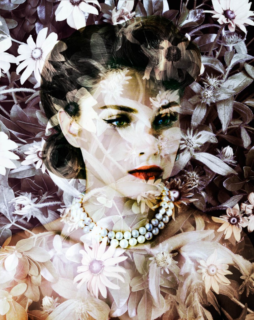 Velvet Centaurea